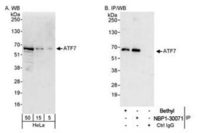 anti-ATF7, Polyclonal, Novus Biologicals 0.1mL; Unlabeled:Antibodies