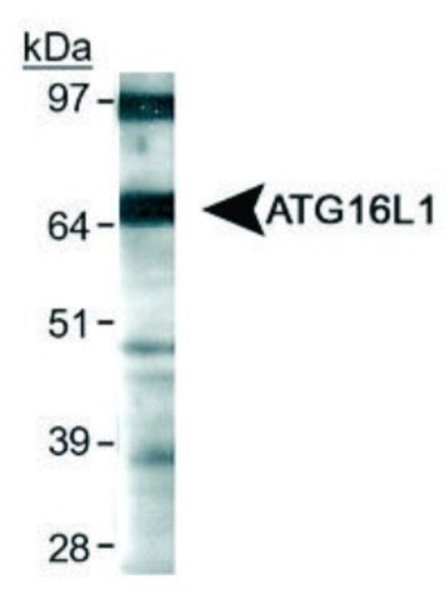 anti-ATG16L1, Polyclonal, Novus Biologicals:Antibodies:Primary Antibodies