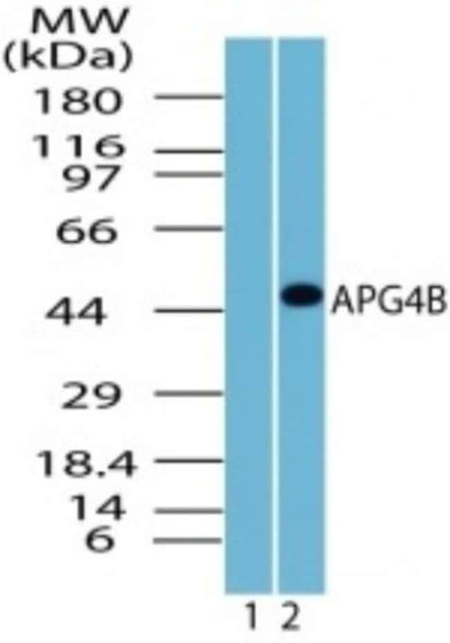 anti-ATG4B, Polyclonal, Novus Biologicals:Antibodies:Primary Antibodies