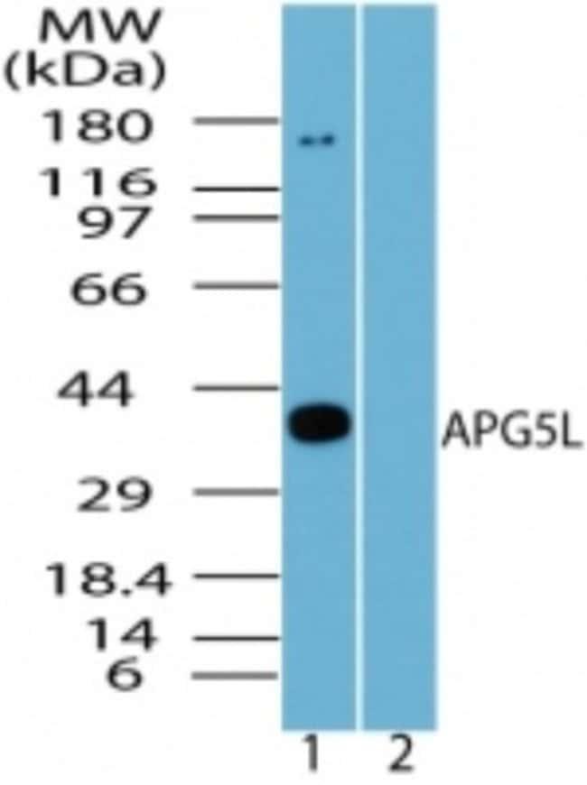 anti-ATG5, Polyclonal, Novus Biologicals:Antibodies:Primary Antibodies