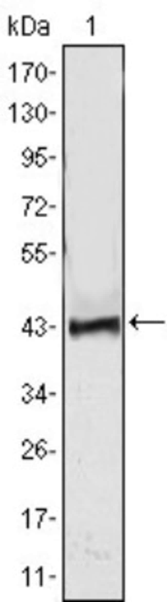 anti-ATP2C1, Clone: 4G12, Novus Biologicals 0.1mL; Unlabeled:Life Sciences