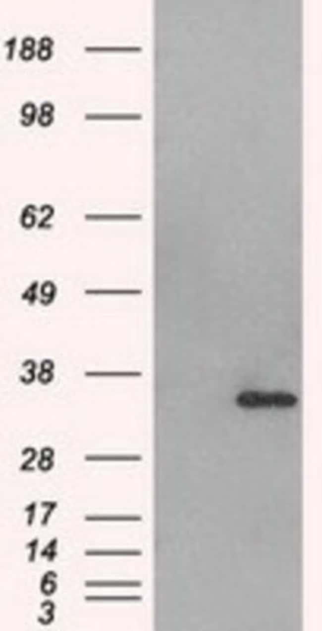 anti-Aurora C, Clone: 2B7, Novus Biologicals 0.1mL; Unlabeled:Life Sciences