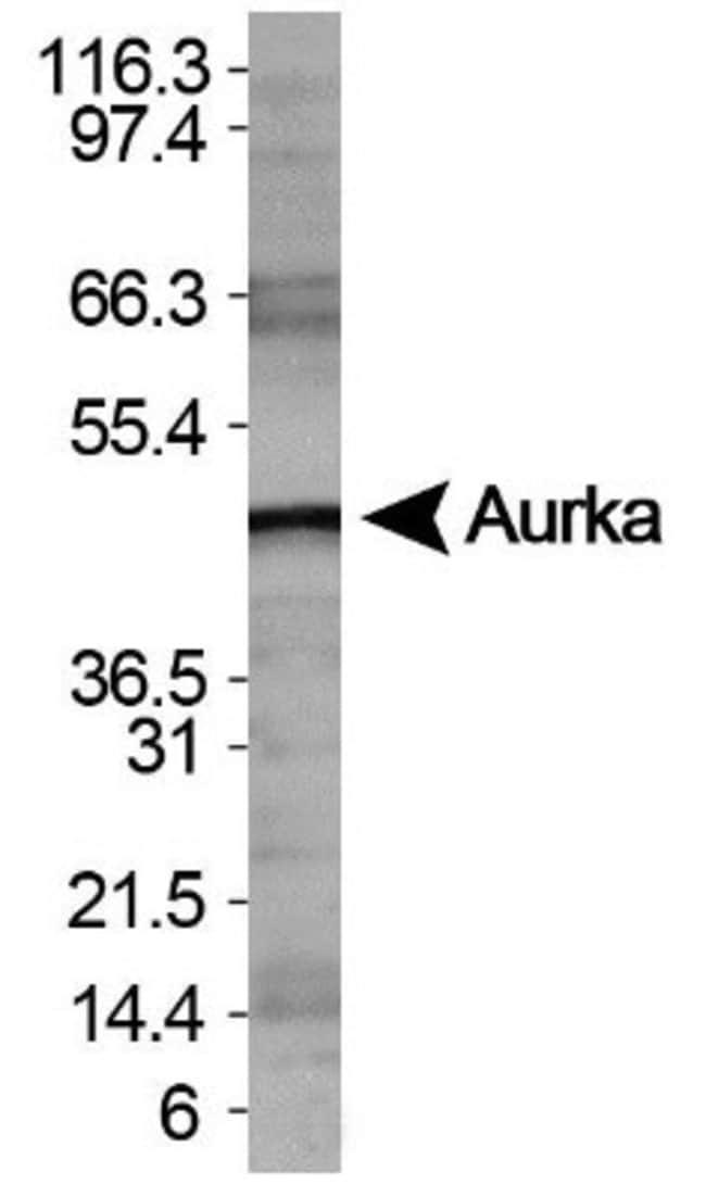 anti-Aurora A, Polyclonal, Novus Biologicals 0.1mL; Unlabeled:Life Sciences