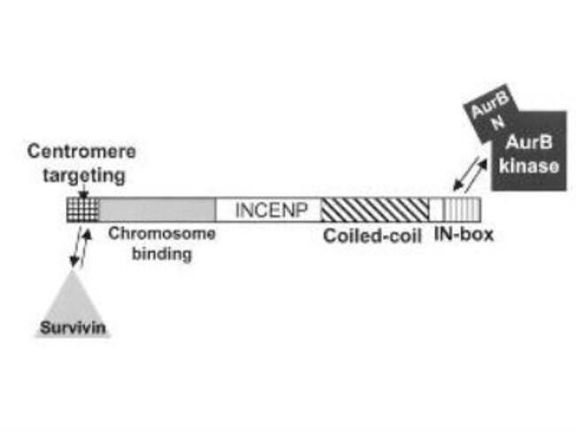 anti-Aurora B, Polyclonal, Novus Biologicals 0.1mg; Unlabeled:Life Sciences