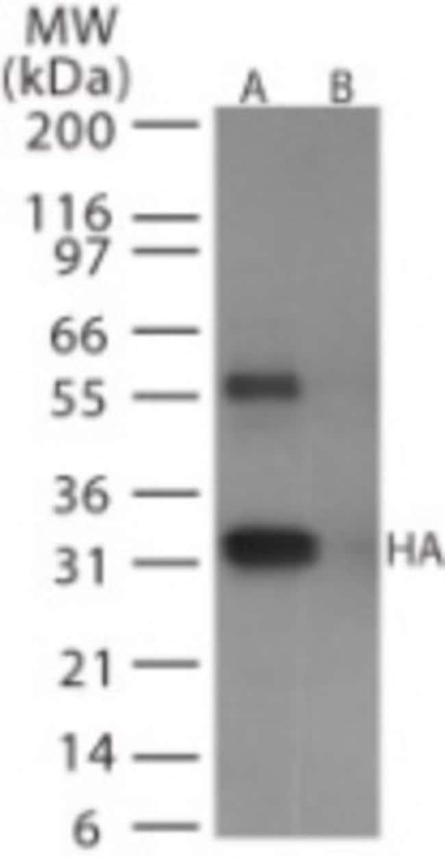 anti-Avian Flu HA protein, Polyclonal, Novus Biologicals:Antibodies:Primary