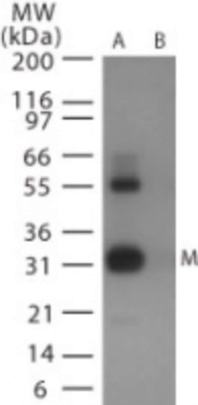 anti-Avian Flu Matrix Protein 1, Polyclonal, Novus Biologicals:Antibodies:Primary