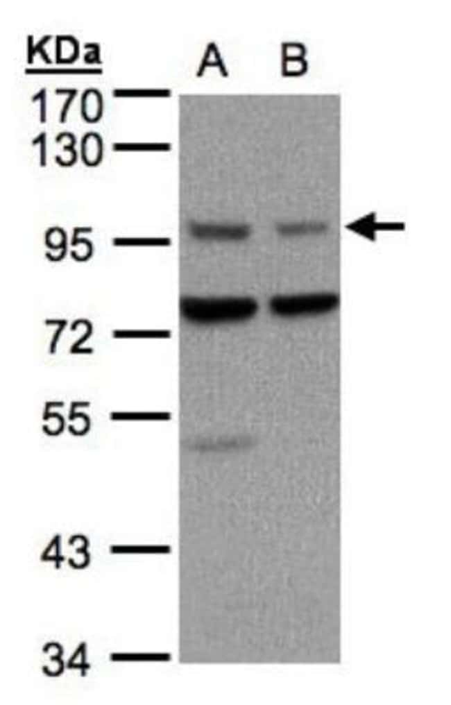 anti-Axin-1, Polyclonal, Novus Biologicals 0.1mL; Unlabeled:Life Sciences