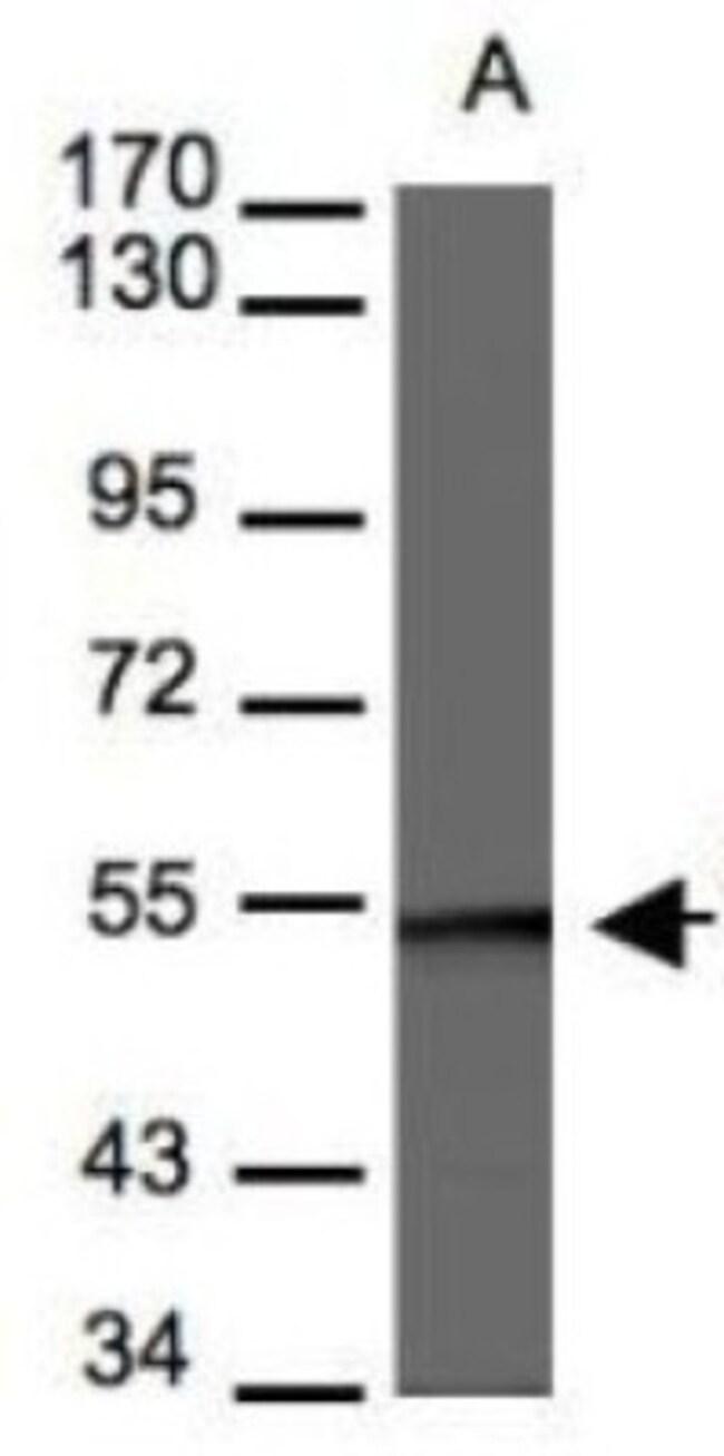 anti-BAF57, Polyclonal, Novus Biologicals 0.1mg; Unlabeled:Life Sciences