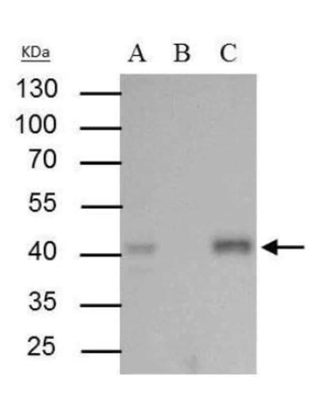 anti-BMI-1, Polyclonal, Novus Biologicals 0.1mg; Unlabeled:Life Sciences