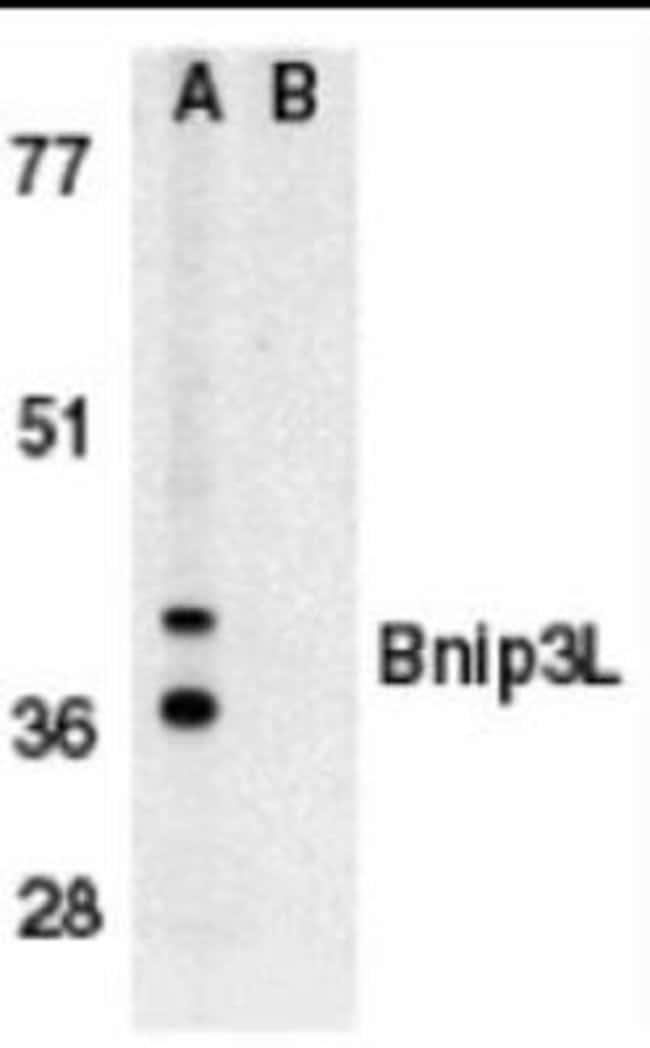 Novus Biologicals BNIP3L Peptide 0.05mg:Life Sciences