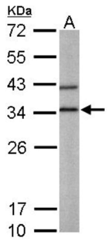 anti-BPNT1, Polyclonal, Novus Biologicals 0.1mL; Unlabeled:Life Sciences