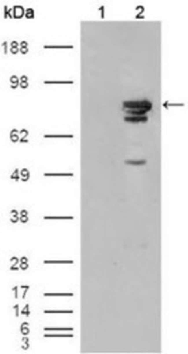 anti-B-Raf, Clone: 1H12F1, Novus Biologicals 0.1mL; Unlabeled:Life Sciences