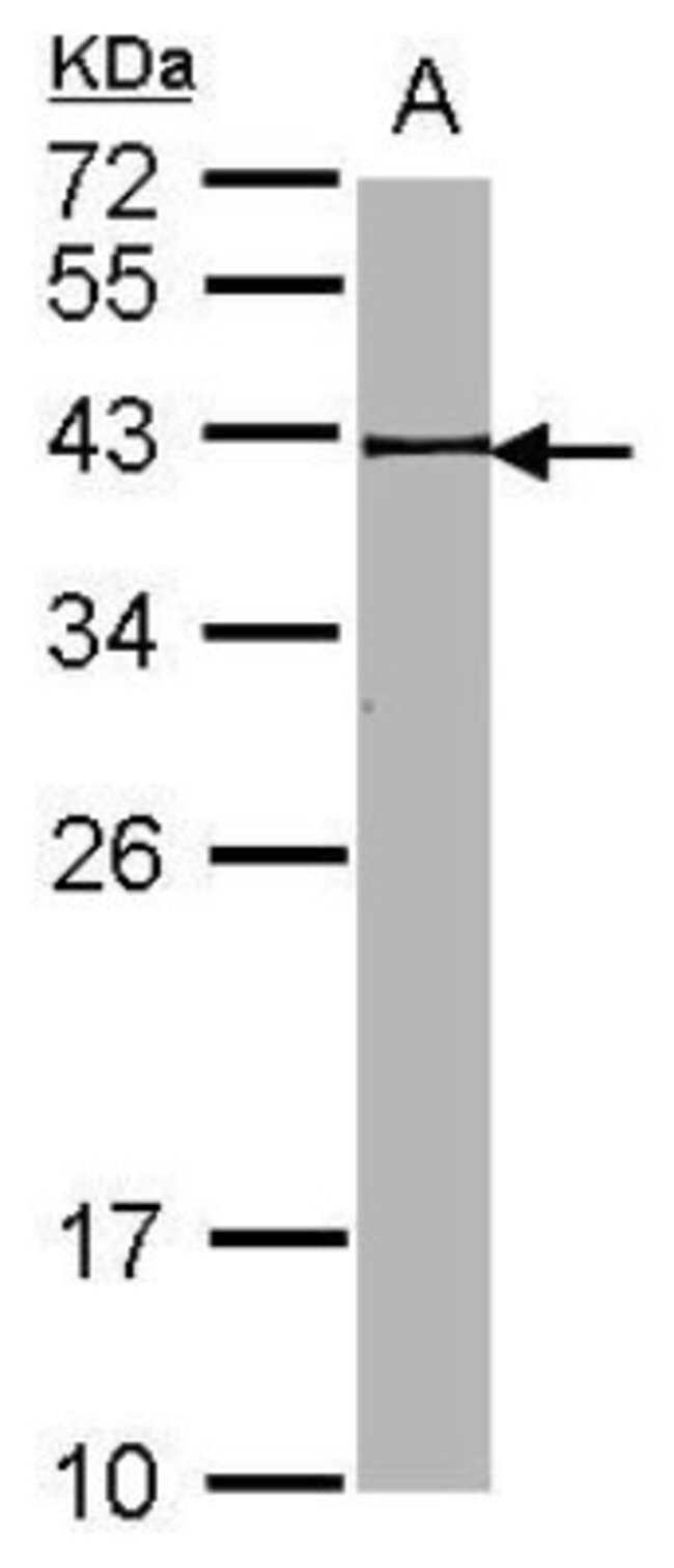 anti-BRE, Polyclonal, Novus Biologicals 0.1mg; Unlabeled:Life Sciences