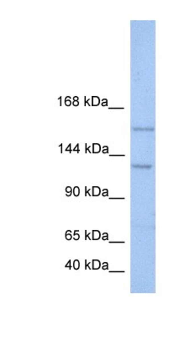 BRPF3 Rabbit anti-Human, Polyclonal, Novus Biologicals 100µL; Unlabeled:Life