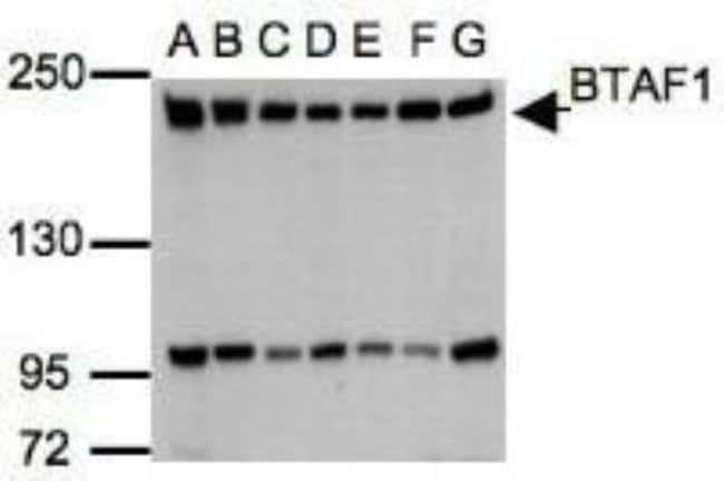 anti-BTAF1, Polyclonal, Novus Biologicals 0.1mg; Unlabeled:Life Sciences
