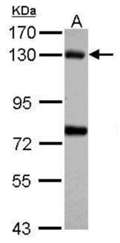 anti-Bub1, Polyclonal, Novus Biologicals 0.1mL; Unlabeled:Antibodies