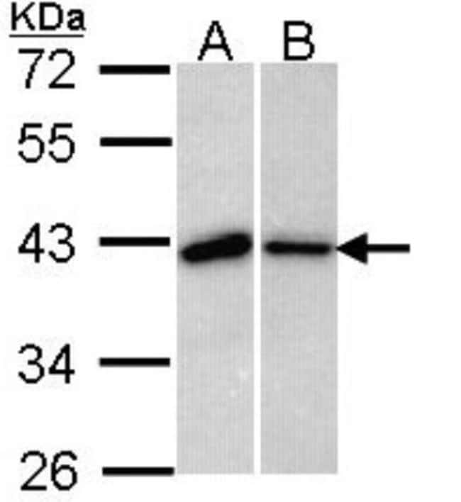 anti-Bub3, Polyclonal, Novus Biologicals 0.1mL; Unlabeled:Life Sciences