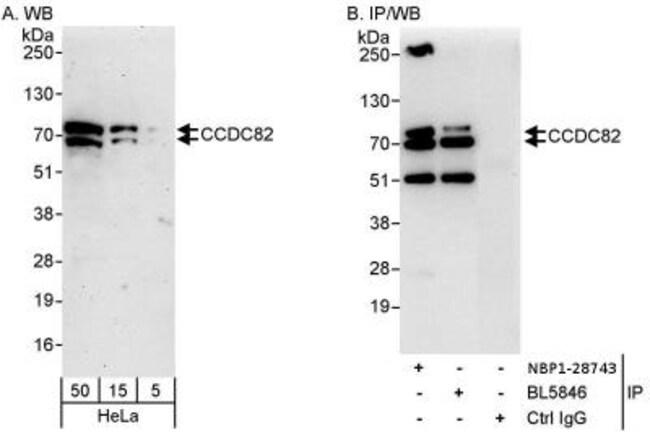 anti-CCDC82, Polyclonal, Novus Biologicals 0.1mg; Unlabeled:Life Sciences