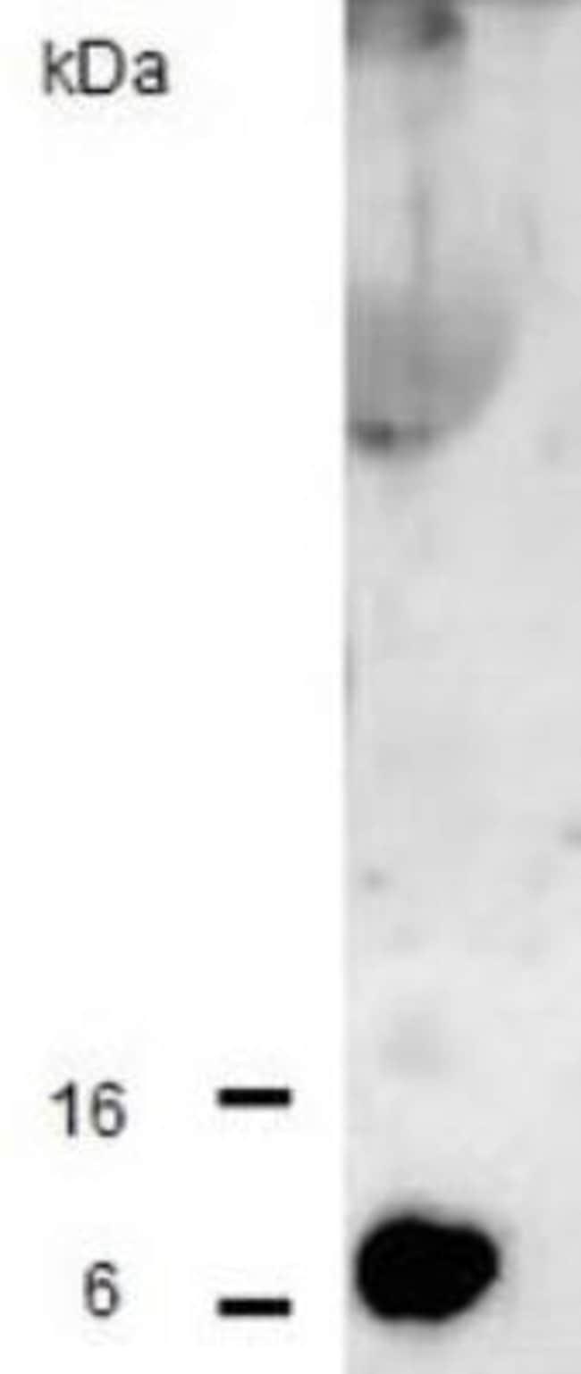 anti-CCL2/MCP1, Polyclonal, Novus Biologicals:Antibodies:Primary Antibodies