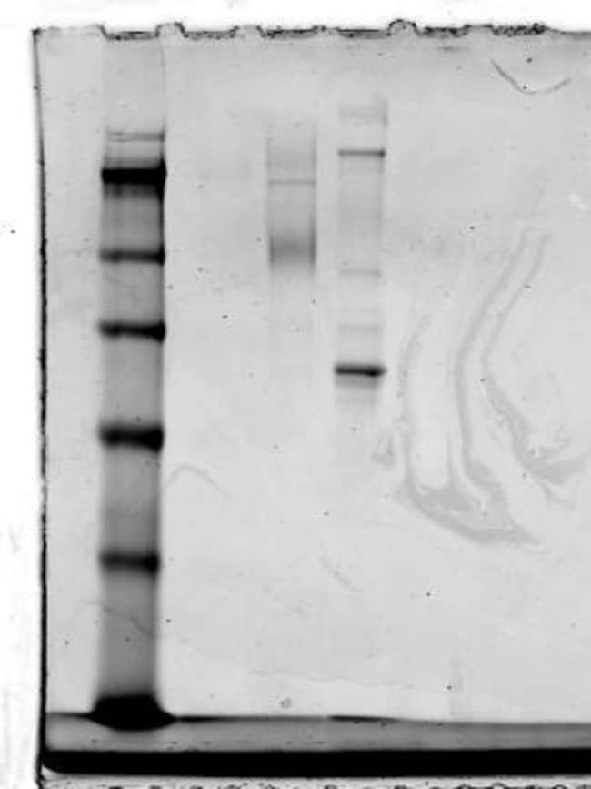 anti-CCR2, Polyclonal, Novus Biologicals:Antibodies:Primary Antibodies