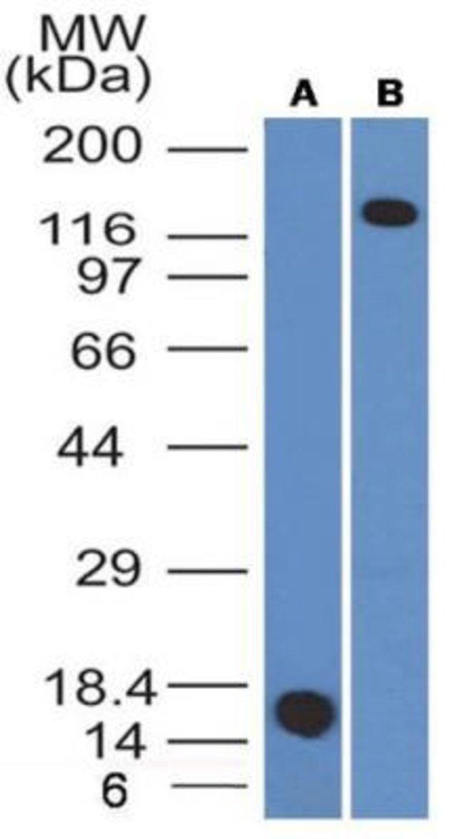 Mouse anti-CD163, Clone: 6D3.2F3, Novus Biologicals:Antibodies:Primary