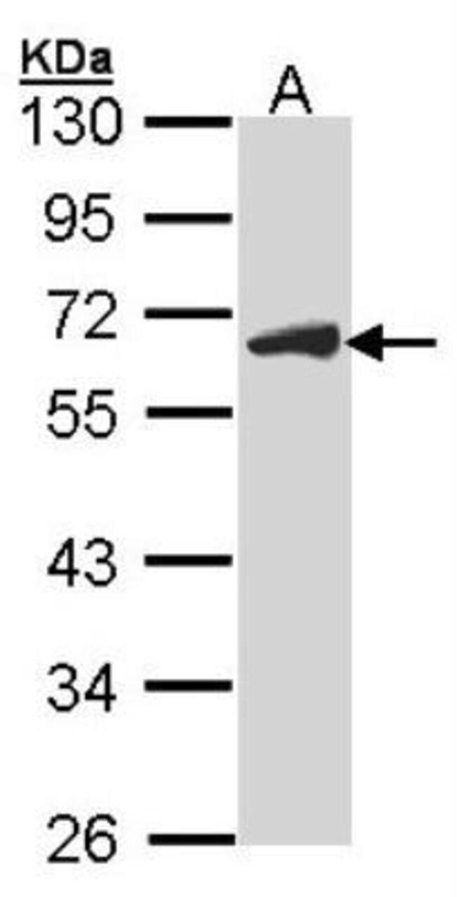 anti-CDC25C, Polyclonal, Novus Biologicals 0.1mg; Unlabeled:Life Sciences