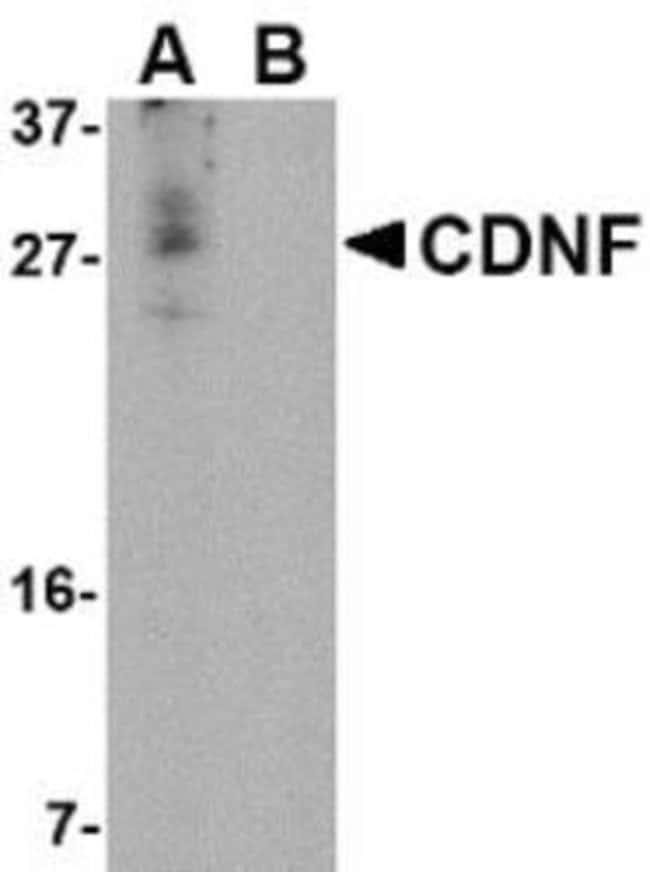 Novus Biologicals CDNF Peptide 0.05mg:Life Sciences