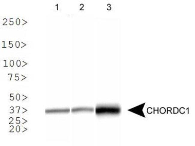 anti-CHORDC1, Polyclonal, Novus Biologicals 0.1mL; Unlabeled:Life Sciences