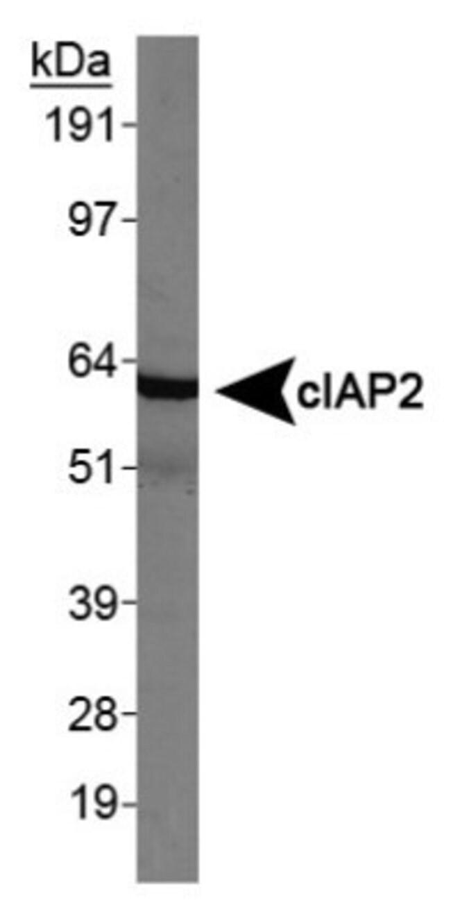 anti-cIAP-2/HIAP-1, Polyclonal, Novus Biologicals 0.025mL; Unlabeled:Life