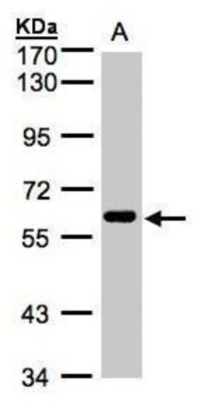 anti-CLK2, Polyclonal, Novus Biologicals 0.1mg; Unlabeled:Life Sciences
