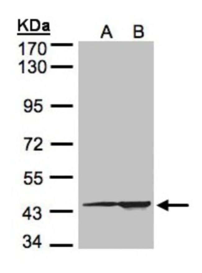 anti-CMAS, Polyclonal, Novus Biologicals 0.1mg; Unlabeled:Life Sciences