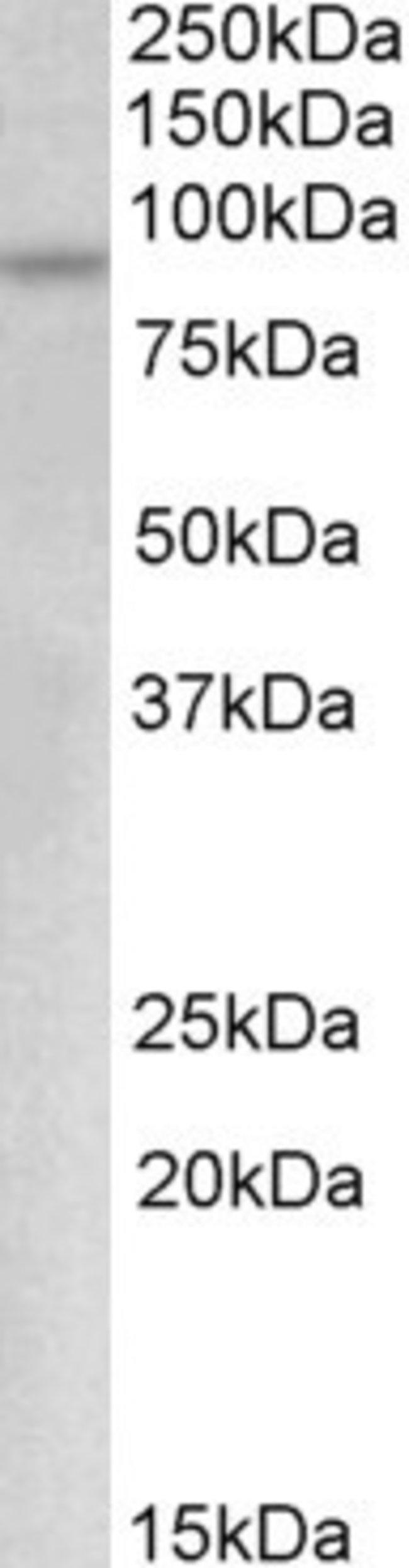 anti-c-Myb, Polyclonal, Novus Biologicals 0.1mg; Unlabeled:Life Sciences