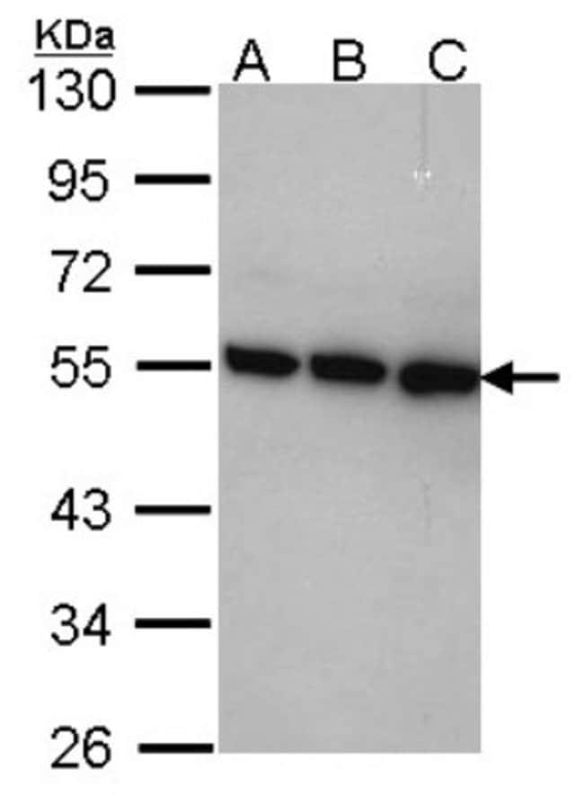 anti-COP9 signalosome complex subunit 2, Polyclonal, Novus Biologicals