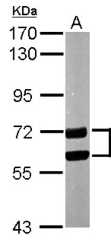 anti-CPNE1, Polyclonal, Novus Biologicals 0.1mL; Unlabeled:Life Sciences