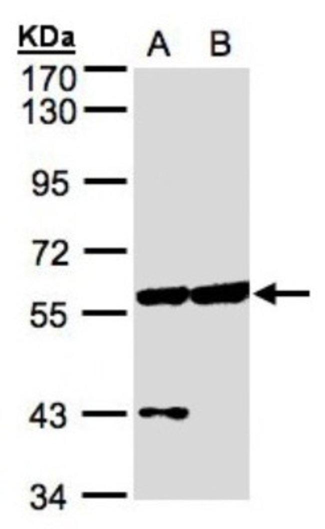anti-CPNE3, Polyclonal, Novus Biologicals 0.1mL; Unlabeled:Antibodies