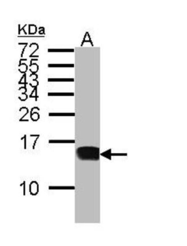 anti-CXCL9/MIG, Polyclonal, Novus Biologicals 0.1mL; Unlabeled:Life Sciences