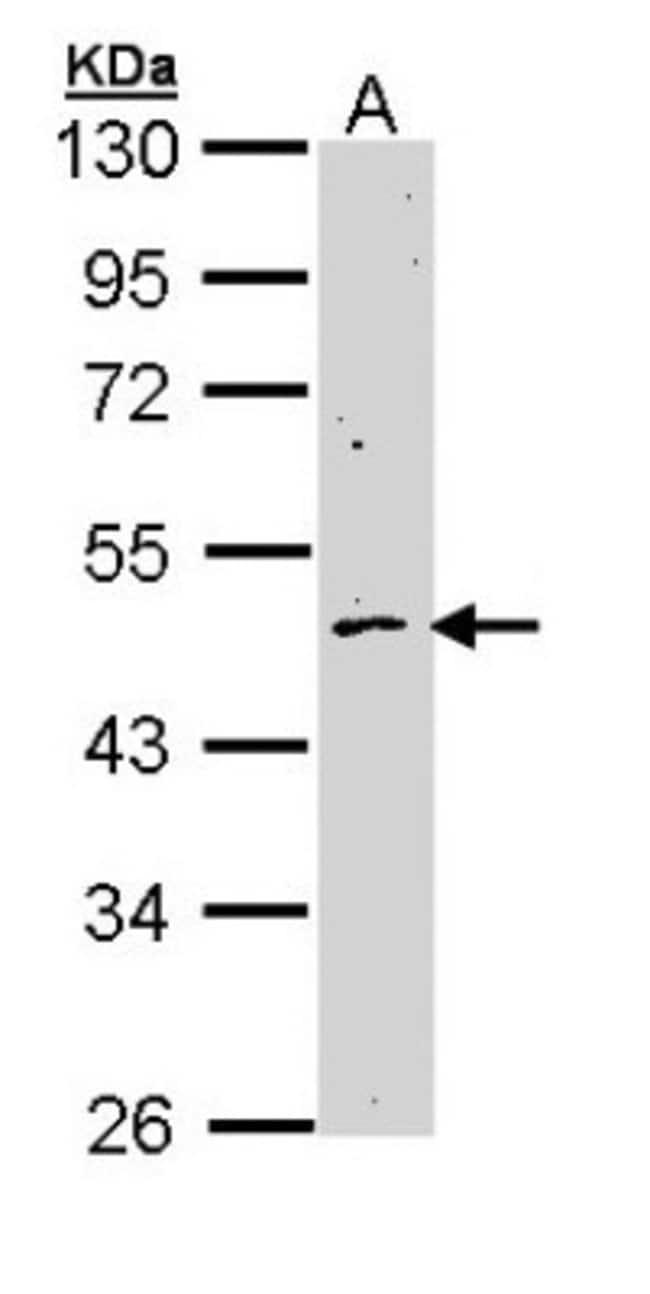 anti-Cyclin B2, Polyclonal, Novus Biologicals 0.1mg; Unlabeled:Life Sciences