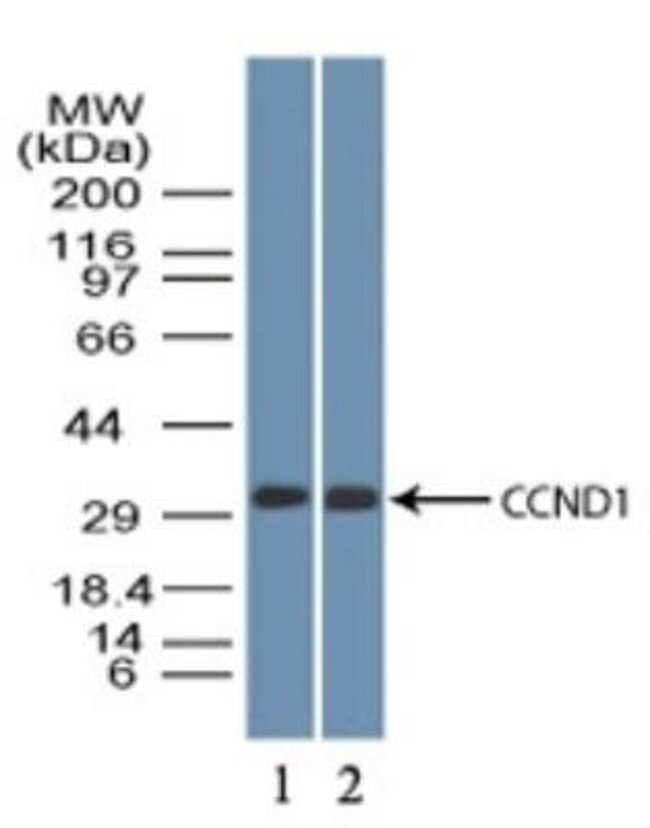 anti-Cyclin D1, Polyclonal, Novus Biologicals:Antibodies:Primary Antibodies