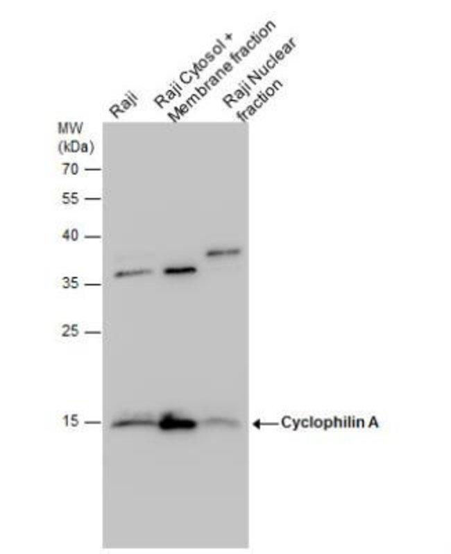 anti-Cyclophilin A, Polyclonal, Novus Biologicals 0.1mg; Unlabeled:Life