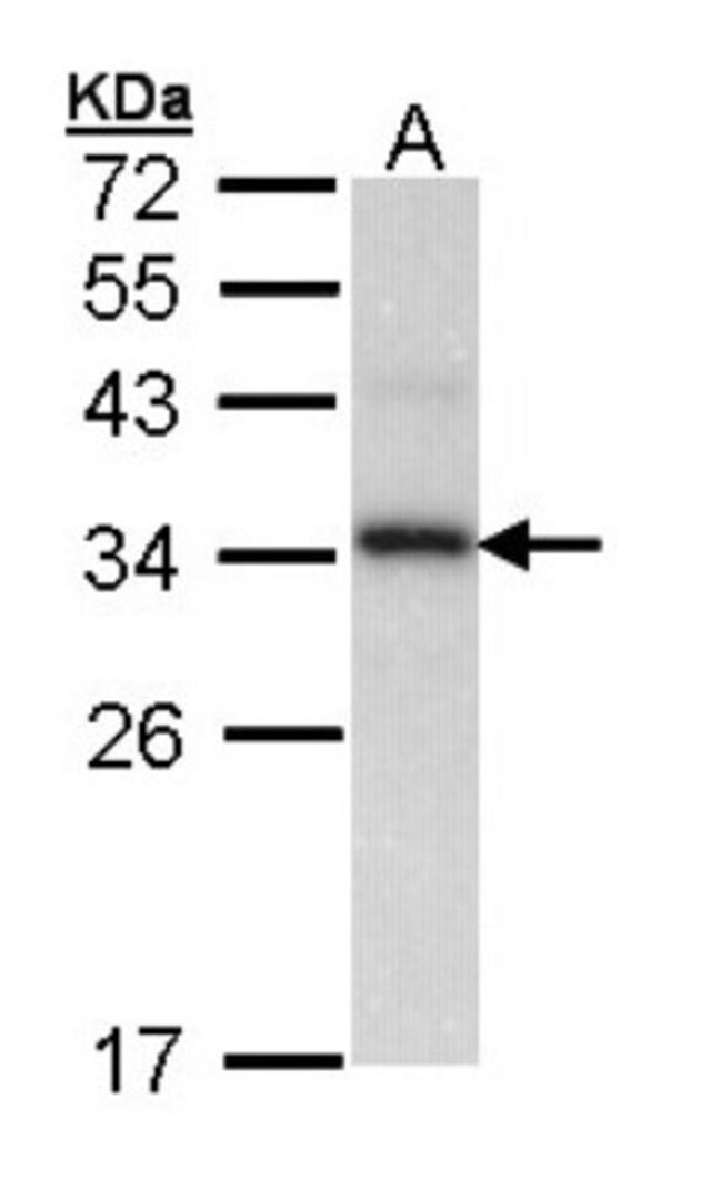 anti-Cyclophilin-E, Polyclonal, Novus Biologicals 0.1mL; Unlabeled:Life