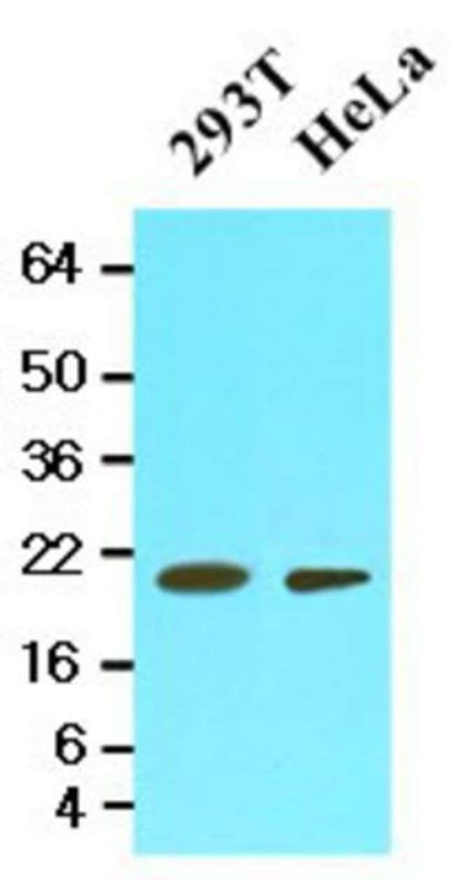 anti-Mouse Cyclophilin-F, Clone: 1F5, Novus Biologicals 0.1mL; Unlabeled:Life