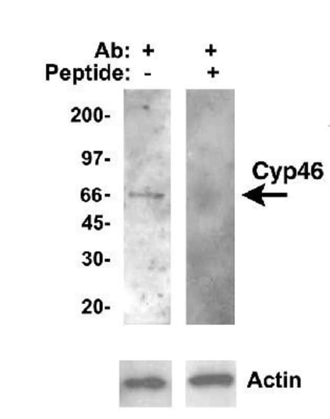 anti-CYP46A1, Polyclonal, Novus Biologicals:Antibodies:Primary Antibodies