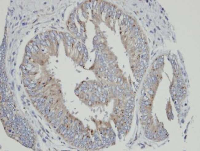 anti-Cytochrome P450 4A, Polyclonal, Novus Biologicals 0.1mL; Unlabeled:Life