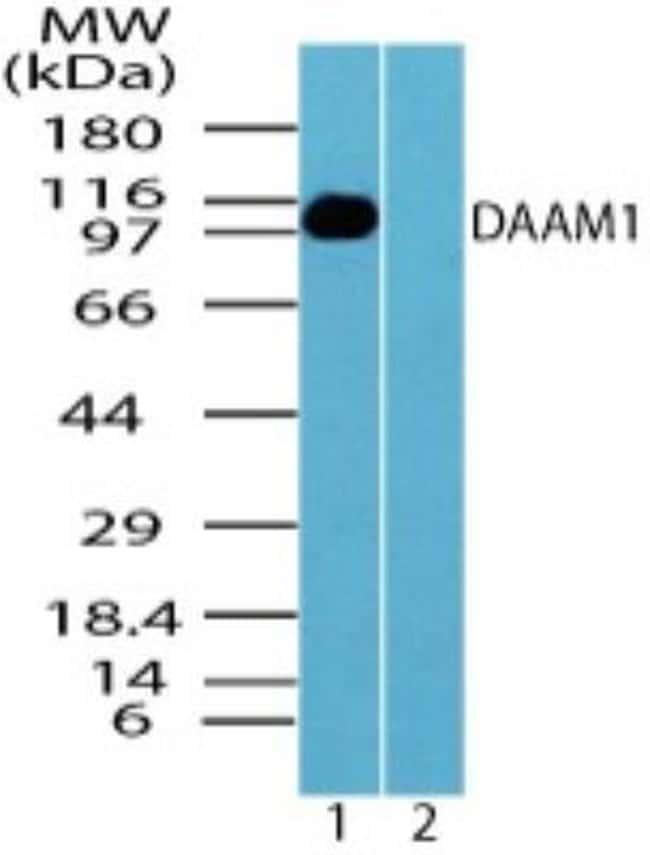 anti-DAAM1, Polyclonal, Novus Biologicals:Antibodies:Primary Antibodies