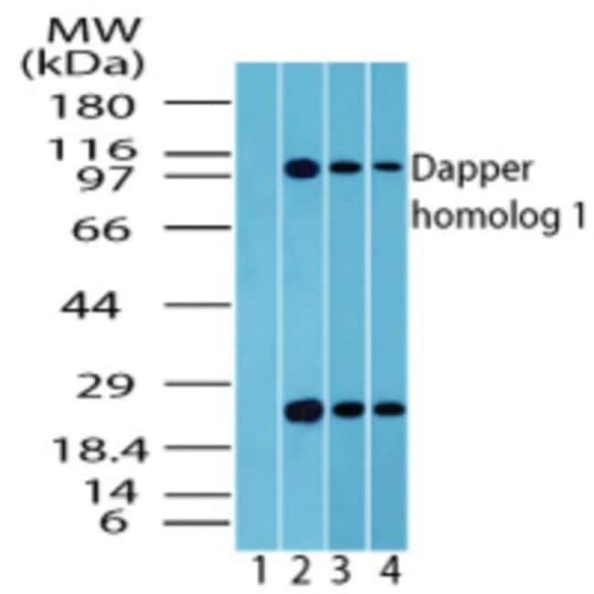 anti-Dact1, Polyclonal, Novus Biologicals:Antibodies:Primary Antibodies