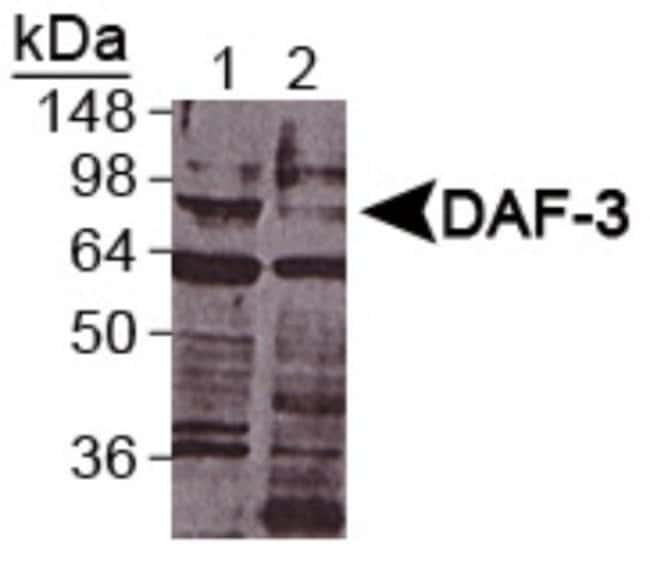 anti-DAF-3, Polyclonal, Novus Biologicals:Antibodies:Primary Antibodies