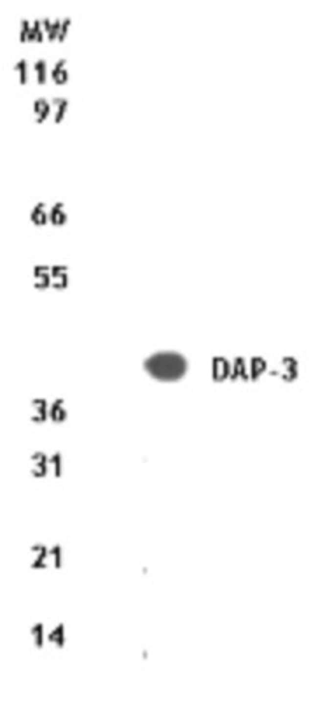 anti-DAP3, Polyclonal, Novus Biologicals:Antibodies:Primary Antibodies