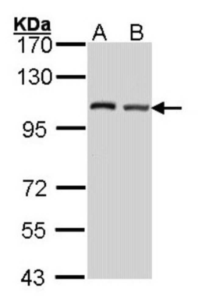 anti-DAP5, Polyclonal, Novus Biologicals 0.1mL; Unlabeled:Life Sciences