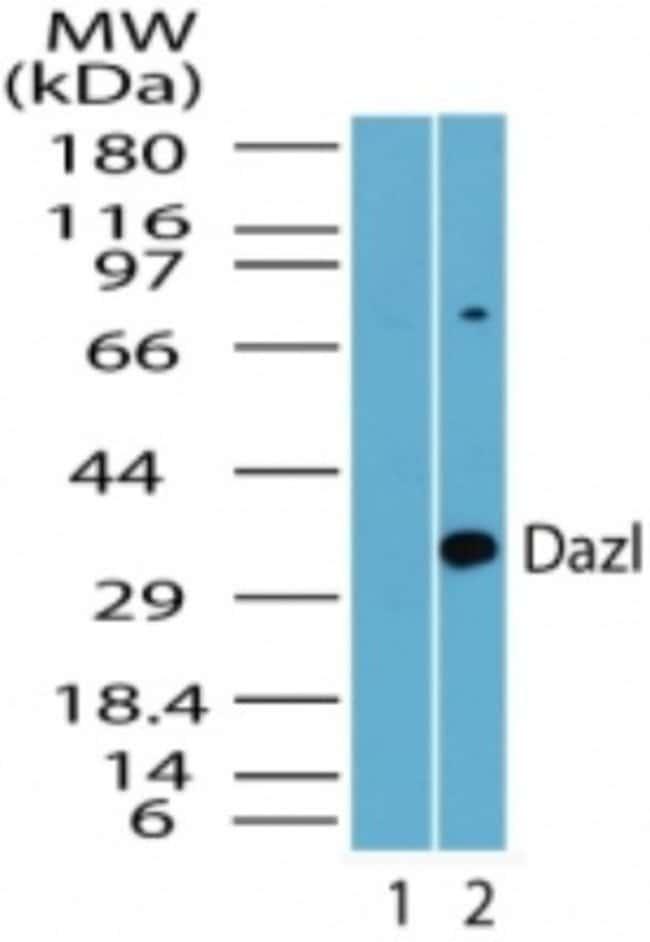 anti-DAZL, Polyclonal, Novus Biologicals:Antibodies:Primary Antibodies