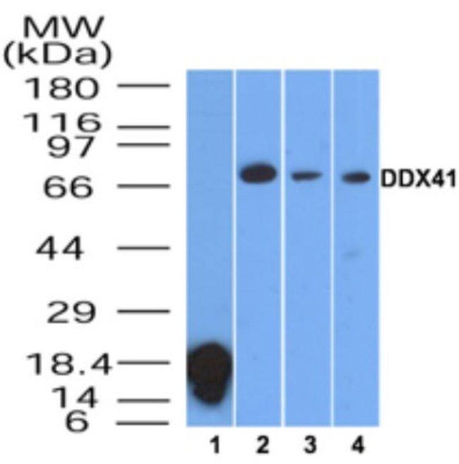 anti-DDX41, Polyclonal, Novus Biologicals:Antibodies:Primary Antibodies